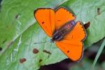 Didysis auksinukas (nuotrauka Pete Eeles/UK Buterflies)